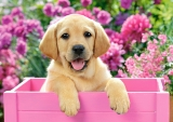 Labrador Puppy in Pink Box